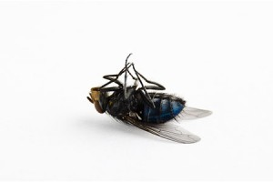 dead housefly